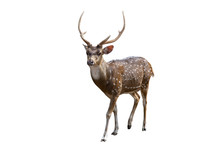 Spotted Deer Isolated On White...