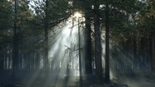 Sun Beams Stream Through Trees In A Smokey Forest