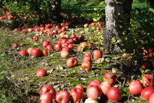 Fallen Apples Under The Tree I...