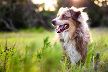 Australian Shepherd In Tall Grass