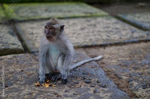 Cute Monkey in Monkey Forest - Bali Indonesia