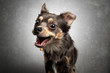 canvas print picture - Hund Chihuahua schnappt fängt Leckerlie in der Luft und zieht Grimasse