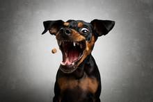 Hund Zwergpinscher Pinscher Schnappt Fängt Leckerlie In Der Luft Und Zieht Grimasse