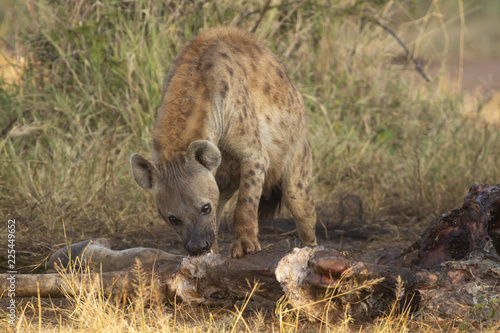 Spotted Hyena eating carcass of giraffe that was killed by lions