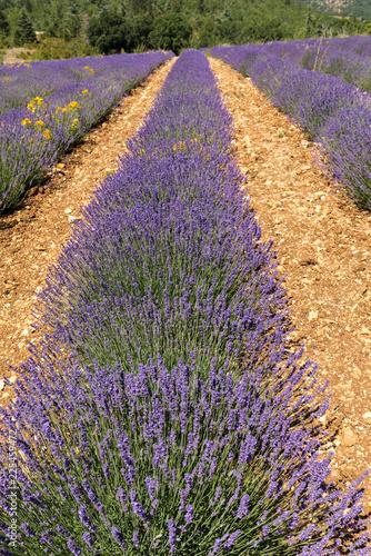 Tuinposter Lavendel Lavender field in Provence, near Sault, France