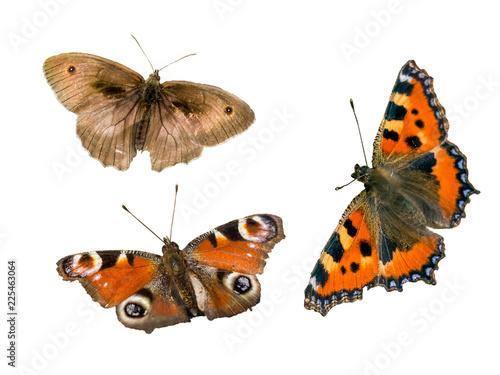 Schmetterlinge isoliert
