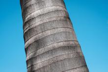 Royal Palm Tree Trunk Closeup ...