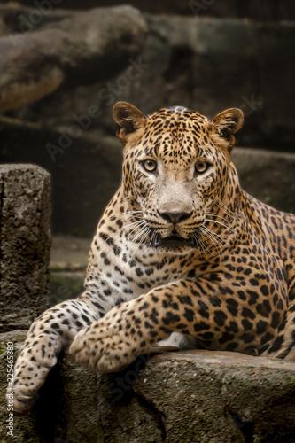 Srilangkan Leopard