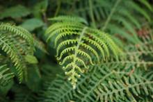 Fern Leaf Closeup, Fern Plant ...
