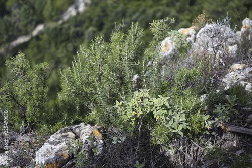 Slika na platnu Wild rosemary