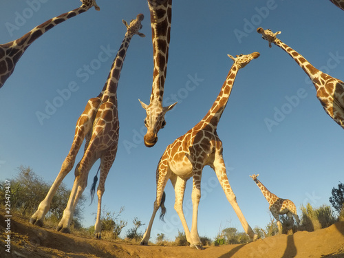 Reticulated Giraffes Canvas Print