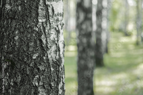 d6169b3bc5b1d raw of birch trees in the park on a bright summer day rhythm closeup of a