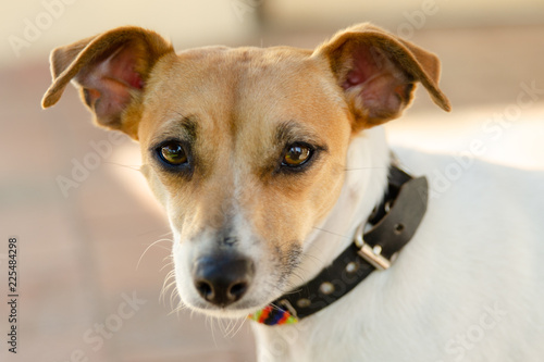 Fotografie, Obraz  Cute little terrier with intense stare and perky ears looking straight at camera