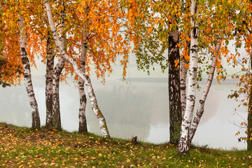 FototapetaHorizontal fall background with birches trees with branches of orange and green leaves and white trunks in foggy park