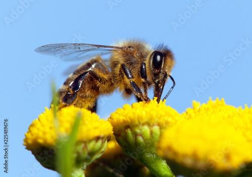 In de dag Bee bee or honeybee in Latin Apis Mellifera