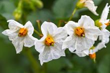 White Flowers Of Potato