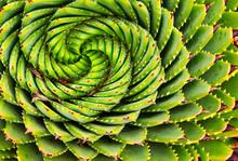 Spiral Aloe In Lesotho