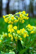 Cowslip Primrose Primula Veris Primula Officinalis