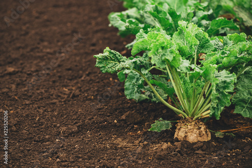 Fotomural Sugar beet root crop organically grown