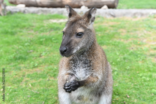 Spoed Foto op Canvas Kangoeroe Red-necked wallaby (kangaroo) eating cookie