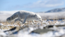 Arctic Fox Cub (Vulpes Lagopus) In Autumn Snow In Dovre Mountains, Norway