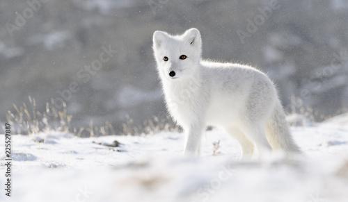 Fotografie, Obraz  Arctic fox cub (Vulpes lagopus) in autumn snow in Dovre mountains, Norway