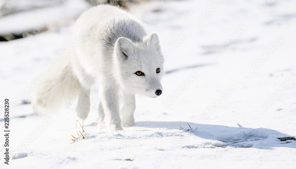 Fototapety, obrazy: Arctic fox cub (Vulpes lagopus) in autumn snow in Dovre mountains, Norway