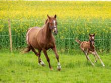 Brown Mare And Foal On Grass