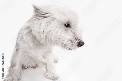 Fototapeta The west highland terrier dog in front of white studio background obraz