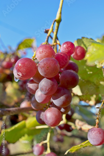 Fotografie, Obraz  Growing branches of red wine grapes