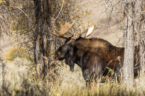 Photo  Bull Shiras Moose in Autumn