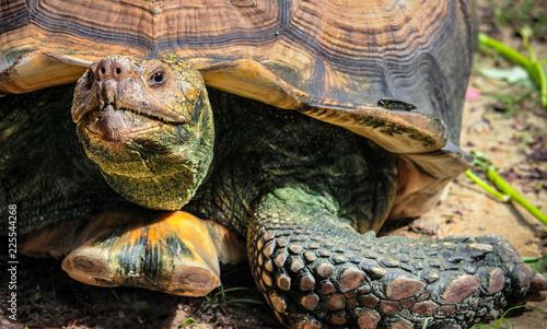 Fotografie, Obraz  Close up of land Giant Tortoise