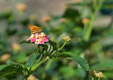 A Skipper Butterfly Drinking N...