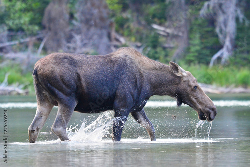 Photo  Cow Moose Glacier National Park