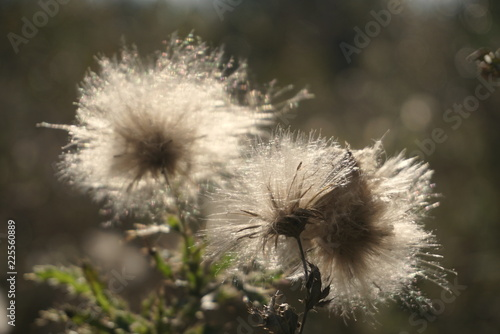 dry seed thistle white fluffy