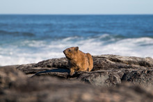 Rock Hyrax (Procavia Capensis) Sitting On The Rocks Facing The Camera With The Ocean In The Background.
