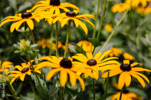 Valokuvatapetti Black-eyed Susan in the Queen's Garden