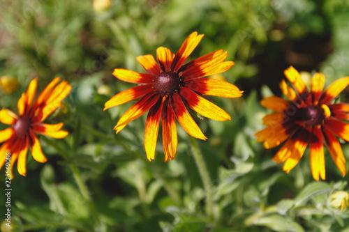 Fotografia, Obraz black-eyed Susan flower in the summer garden on a green background