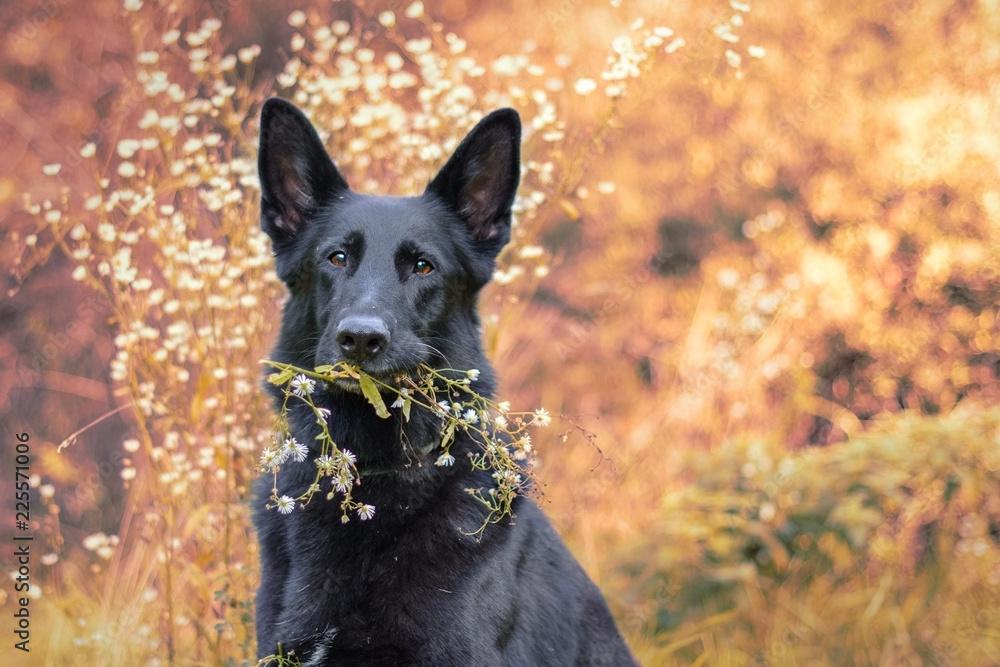 Fototapeta Pies, czarny owczarek niemiecki trzymający gałązkę z białymi kwiatkami, portret jesienny