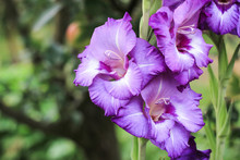 Purple Gladiolus With Three Cups Growing On A Green Background In The Garden, Beautiful Purple Gladiolus, A Beautiful Flower Of Purple Gladiolus, The Inflorescence Of Purple Gladiolus Blooms In Summer