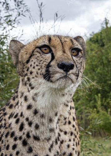 Fotografie, Obraz  UK, Hamerton Zoo - 17 Aug 2018: Cheetah in captivity, portrait