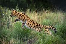 Female Serval In Captivity Pla...