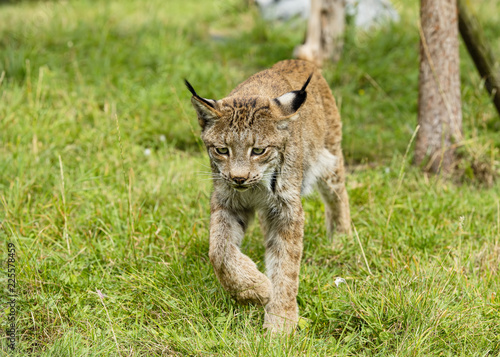 Candian lynx in captivity