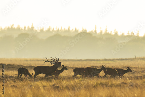 Fotografie, Obraz  Herd of red deer cervus elaphus rutting and roaring during sunset