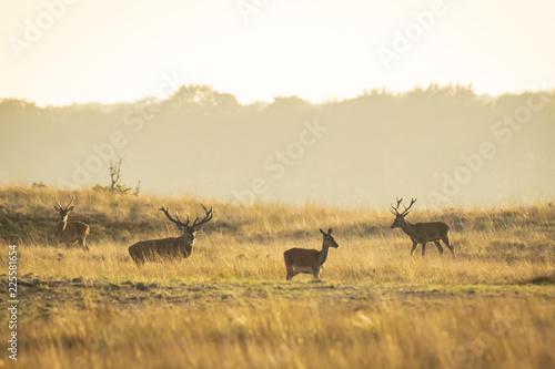 Fotografia, Obraz  Herd of red deer cervus elaphus rutting and roaring during sunset