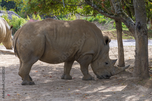 Fotografija  White Rhino, Chessington, London, UK
