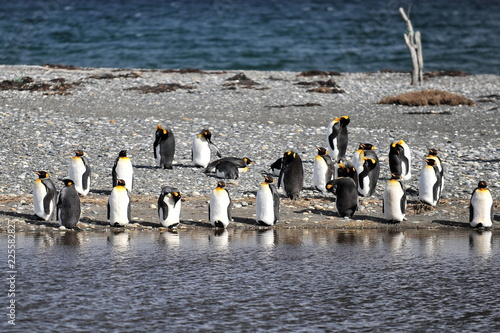 Chile. King penguins on the island of Tierra del Fuego.