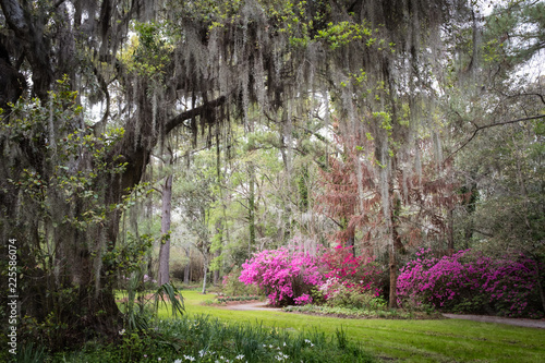 Fototapeta premium Magnolia Plantation & Gardens. Charleston, Karolina Południowa, USA