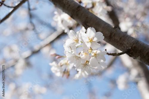 Fotografie, Obraz  CLOSE UP BEAUTIFUL SPRING CHERRY BLOSSOMS