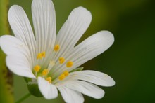 Macro Shot Of A Chickweed (Ste...